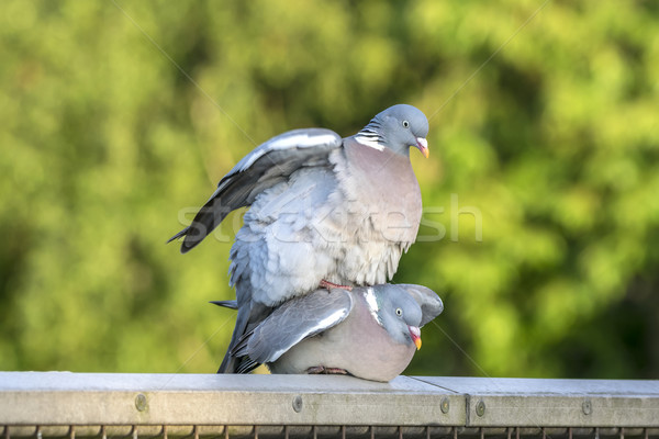 A Pair of Pigeons Mating Stock photo © paulfleet