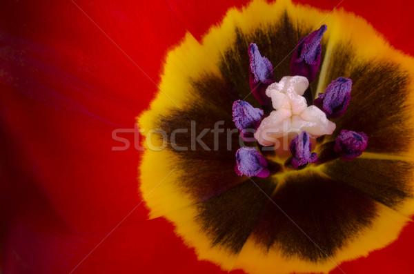Tulip flower Stock photo © paulfleet