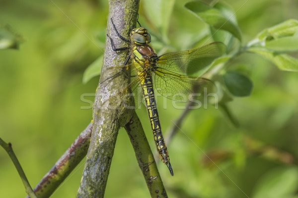 Female Hairy Dragonfly Stock photo © paulfleet