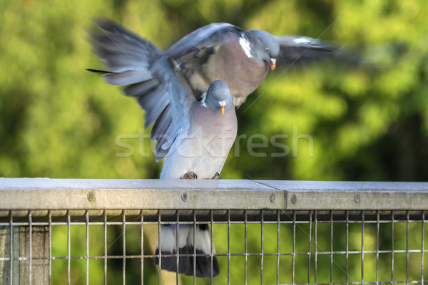 Two Wood Pigeons Mating Stock photo © paulfleet
