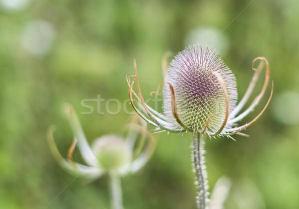Virág fej növény kész természet lila Stock fotó © paulfleet