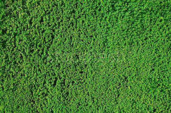 Hedge background Stock photo © paulfleet