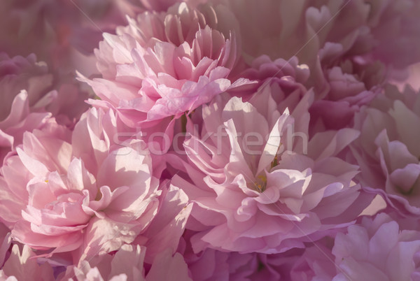 Rose fleur dynamique soft pastel Photo stock © paulfleet
