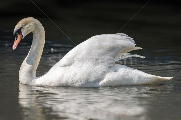 Mute Swan on a Lake Stock photo © paulfleet