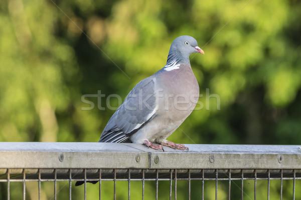 Wood Pigeon on a Fence Stock photo © paulfleet