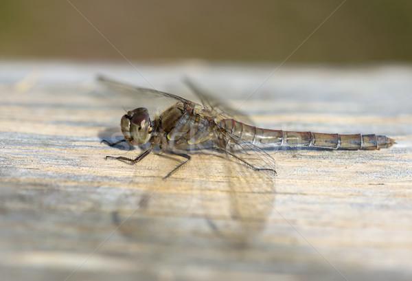 Feminino libélula para cima manhã sol verão Foto stock © paulfleet