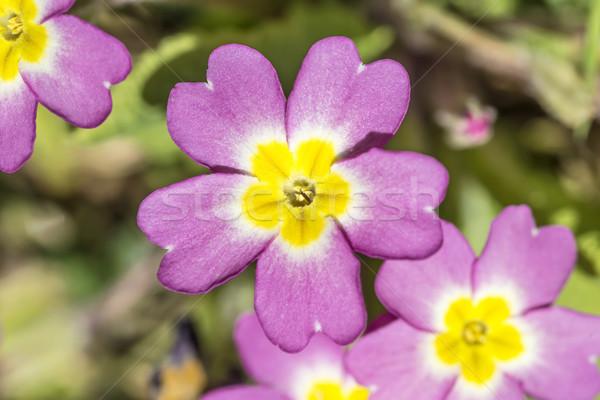 Rosa prímula flores ensolarado primavera Foto stock © paulfleet