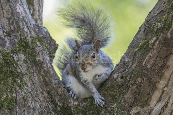 Gray Squirrel Sitting in a Tree Stock photo © paulfleet