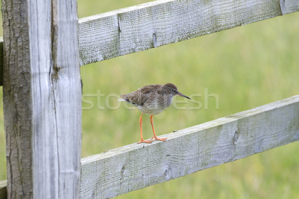 Redshank Perched On a Gate Stock photo © paulfleet