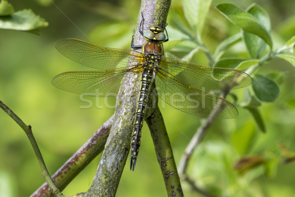 Female Hairy Hawker Dragonfly Stock photo © paulfleet
