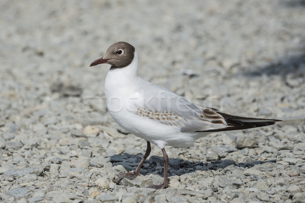 Stock photo: Juvenile Black Headed Gull
