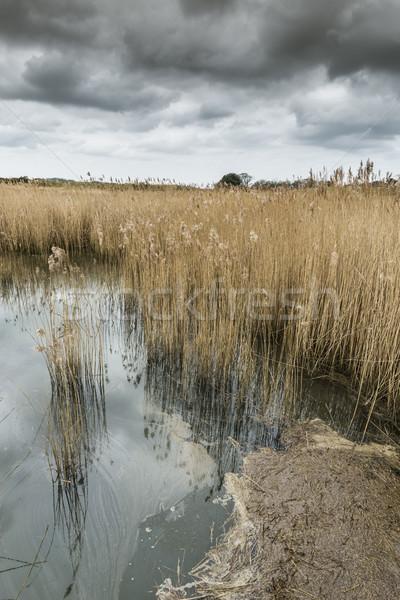 Salt water reed bed Stock photo © paulfleet