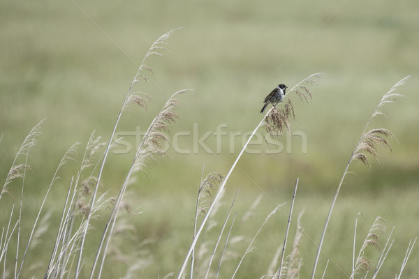 Reed Bunting Background Stock photo © paulfleet