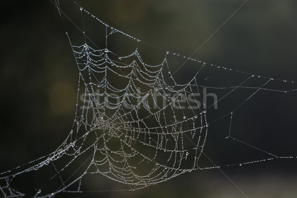 Dew laden cobweb Stock photo © paulfleet
