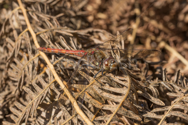 Masculino libélula para cima manhã sol verão Foto stock © paulfleet