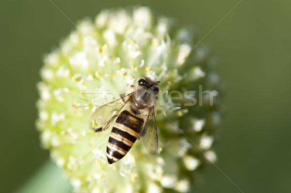 Bee werken drukke bloem zon natuur Stockfoto © paulwongkwan