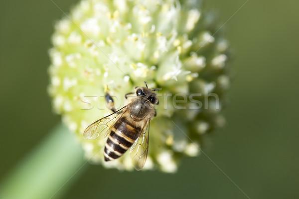 Bee werken drukke bloem bloemen voorjaar Stockfoto © paulwongkwan