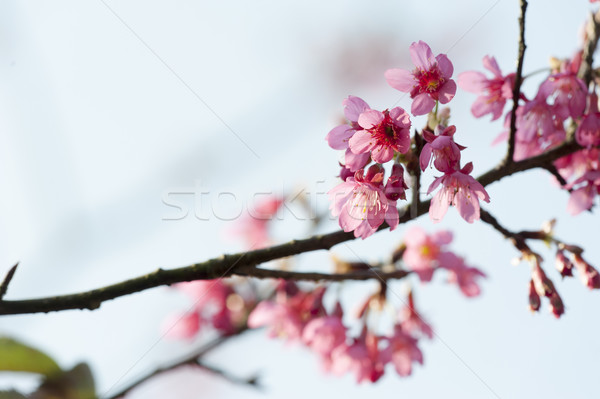 Prunus campanulata branch Stock photo © paulwongkwan