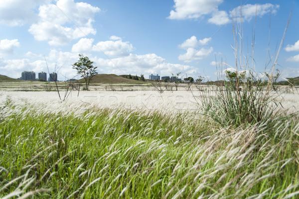 Field of Miscanthus Stock photo © paulwongkwan