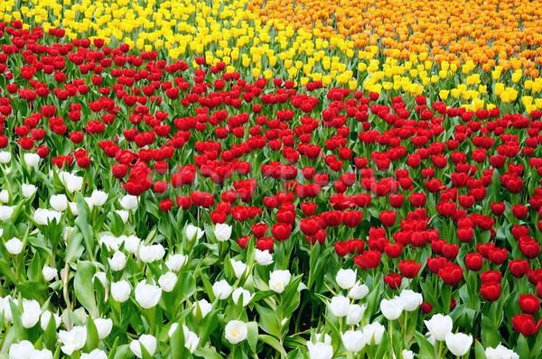 Tulp veld witte Rood bloemen water Stockfoto © paulwongkwan