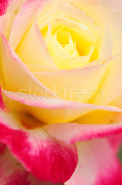 Rose Genetic modified Stock photo © paulwongkwan