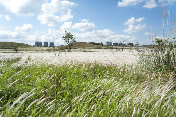 Stock photo: Field of Miscanthus
