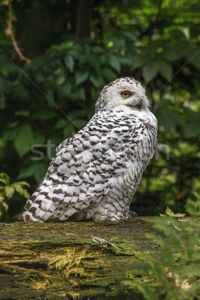 Beyaz kar baykuş portre ağaç açmak Stok fotoğraf © pavelmidi