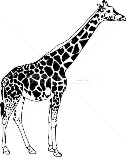 Zürafa vektör yalıtılmış beyaz doku Stok fotoğraf © pavelmidi