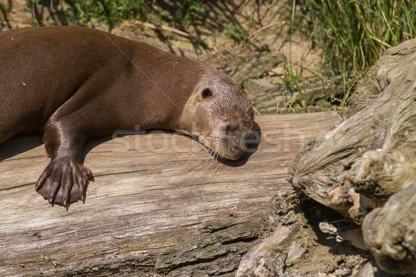 giant otter Stock photo © pavelmidi