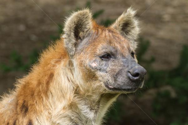 Hyäne Porträt Augen Afrika Kopf Park Stock foto © pavelmidi