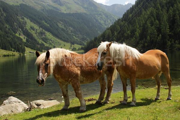 Two horses Stock photo © pavelmidi