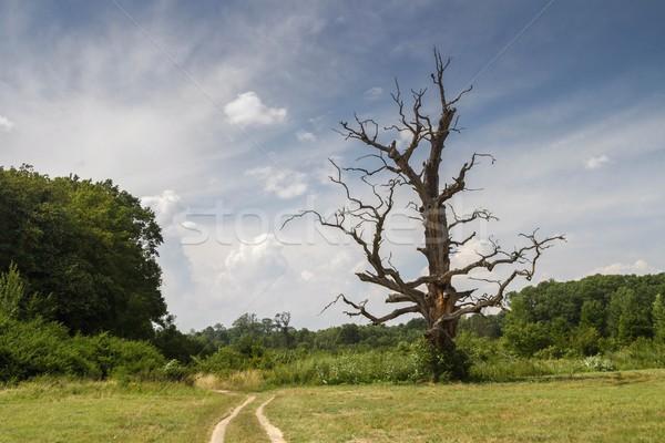 dry big tree Stock photo © pavelmidi