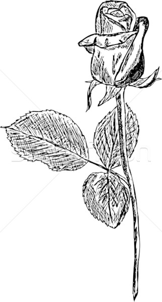 Rosa Preto Rosas Desenhar Branco Natureza