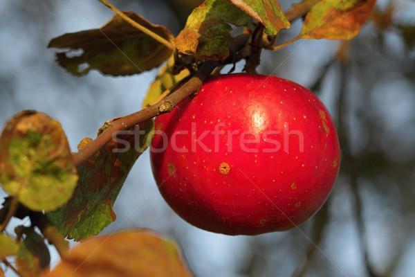 Apfel hängen Detail Ast Apfelgarten sunrise Stock foto © pavelmidi