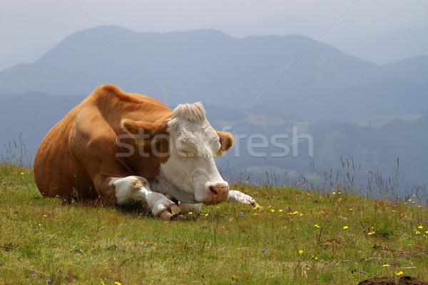 cow on pasture Stock photo © pavelmidi
