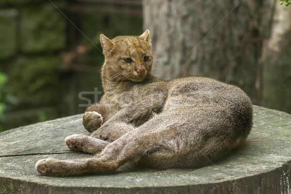 jaguarundi Stock photo © pavelmidi