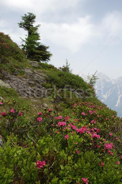 Azalea bloemen hoog berg voorjaar natuur Stockfoto © pavelmidi