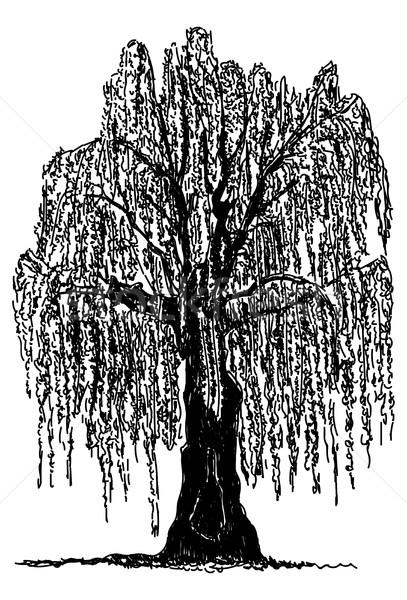weeping willow Stock photo © pavelmidi