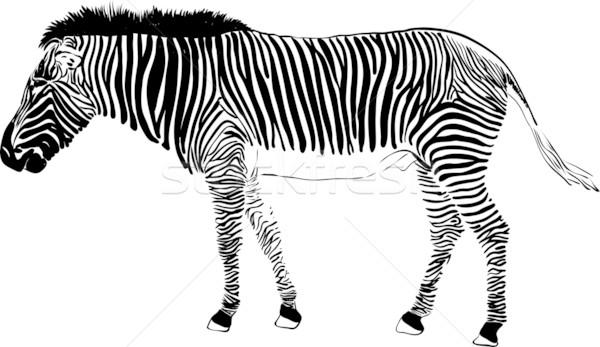 zebra Stock photo © pavelmidi
