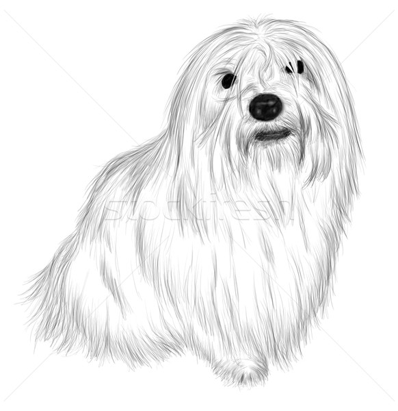 Coton de Tulear Stock photo © pavelmidi
