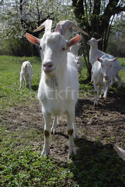 goat Stock photo © pavelmidi