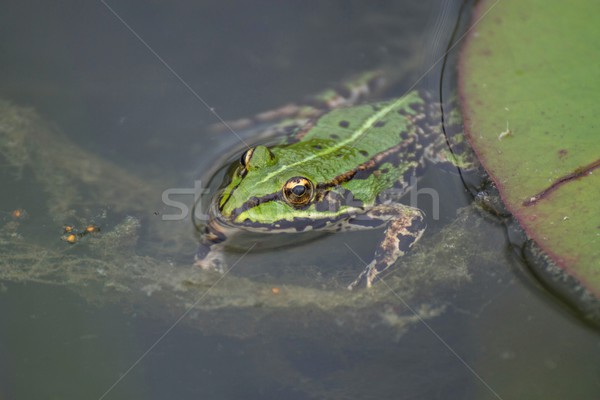 Stock photo: frog floats
