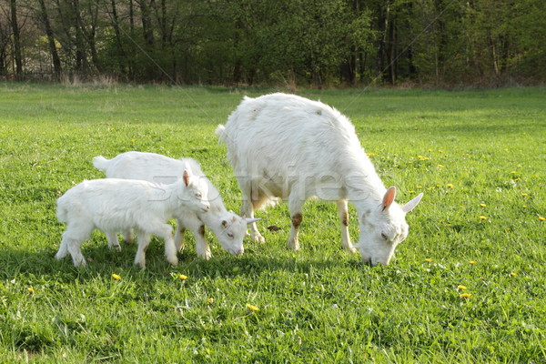 Chèvre deux enfants nature vert Photo stock © pavelmidi