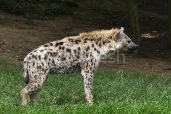 Hiena retrato cão África cabeça parque Foto stock © pavelmidi