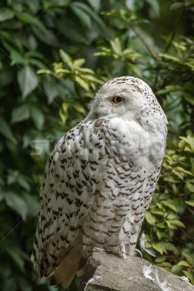 White snow owl Stock photo © pavelmidi