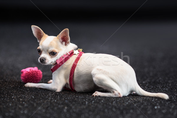 Mały cute psa moda tle Zdjęcia stock © PawelSierakowski