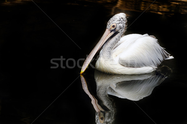 Pelican Stock photo © pazham