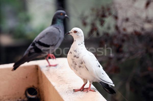 белый темно голубь Постоянный Сток-фото © pazham