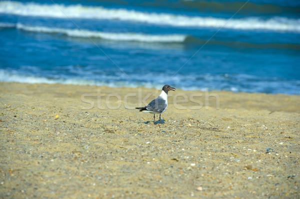 black headed gull Stock photo © pazham