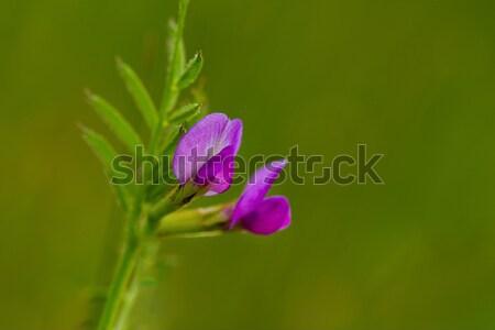 写真 花 花 自然 夏 ストックフォト © pazham